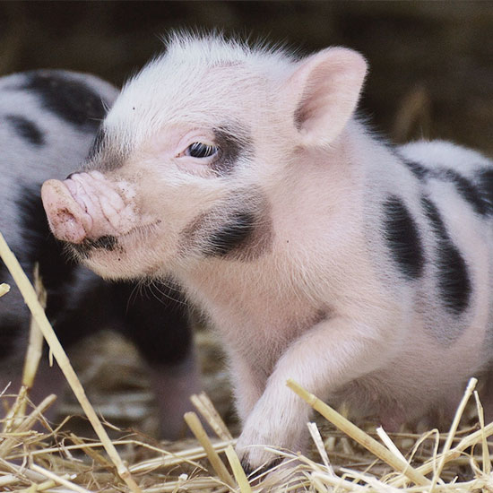 Piglets (Closed due to African Swine Fever)